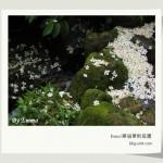 (( 2007尋訪桐花 )) 小粗坑古道@桃園縣龍潭
