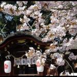 《愛戀京都》櫻花見の名所私推薦之二:平野神社