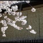 《愛戀京都》櫻花見の名所私推薦之三:白川南通